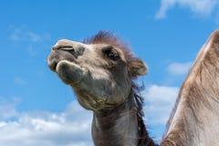 嚼草的骆驼的特写镜头画象 图库摄影