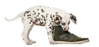 嚼鞋子的达尔马希亚小狗 库存照片