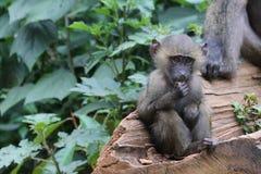 嚼食物的狒狒青年时期 图库摄影