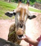 嚼食物的长颈鹿 免版税图库摄影