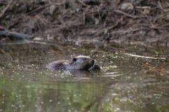 嚼水坝的海狸 库存照片