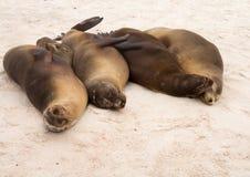 四个加拉帕戈斯密封连续在海滩 图库摄影
