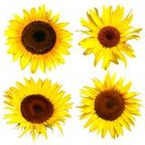 四个向日葵黄色 免版税库存照片