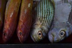 四个异常的尸体新鲜的海鱼,两钓鱼红色,一条绿色鱼,灰色一条的鱼,黑背景 大开的白点和嘴唇p 库存照片