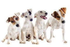 四个插孔罗素狗 库存图片