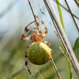 四个斑点天体织布工(Araneus quadratus) 免版税库存照片