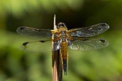 四个斑点追赶者蜻蜓,libellula quadrimaculata 免版税图库摄影