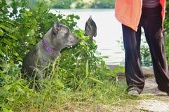 四个月的意大利大型猛犬藤茎corso和鱼 免版税库存图片