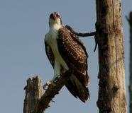 四个月的白鹭的羽毛 免版税库存图片
