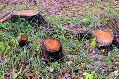 四个树桩在一块沼地在森林里 免版税库存图片