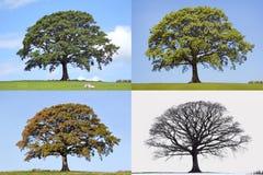 四个橡木季节结构树 库存图片