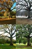 四个橡木季节结构树 库存照片