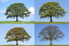 四个橡木季节结构树 免版税库存照片