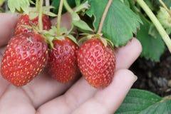 四个红色草莓在妇女` s手上 免版税库存照片