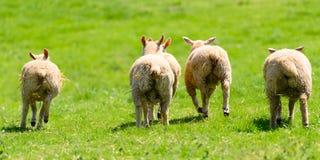 四个羊羔的底部 库存图片