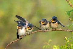 四刚孵出的雏家燕等待他们的父母的燕属rustica 库存图片