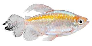 四刚果的鱼 库存图片