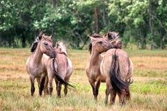 四匹马亲吻 库存照片
