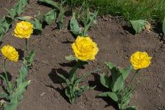 四双重被装饰的黄色郁金香在花圃里 库存照片
