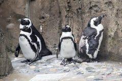四只企鹅 库存图片