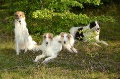 四只俄国猎狼犬 库存图片