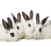 四只兔子 免版税库存图片