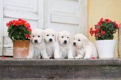 四只可爱的金毛猎犬小狗 免版税库存照片