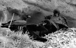 四只吃腐肉的乌鸦 免版税图库摄影