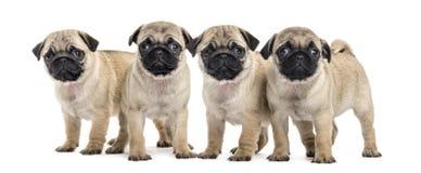 四只哈巴狗小狗,被隔绝 库存照片