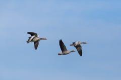 四只在蓝天的飞行的灰色鹅分析服务公司分析服务公司飞行 免版税库存照片