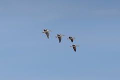 四只在蓝天的飞行的灰色鹅分析服务公司分析服务公司飞行 库存照片