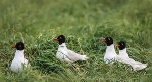 四只地中海鸥在草坪 免版税库存照片