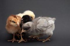 四只多彩多姿的小鸡 免版税库存图片