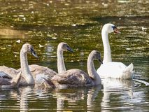 四只天鹅在湖 库存图片