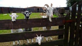 四只好奇山羊 库存图片