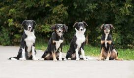 四只小狗博德牧羊犬 免版税库存图片