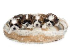 四只小狗shitzu 库存图片
