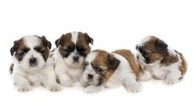 四只小狗shitzu 图库摄影