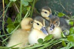 四只小的鸭子 图库摄影