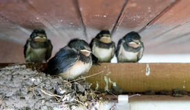 四只幼小燕子 免版税库存照片