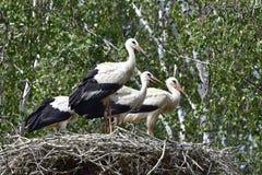 四只幼小鹳在第一班飞行前的巢天 免版税库存图片