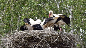 四只幼小鹳在第一班飞行前的巢天 图库摄影