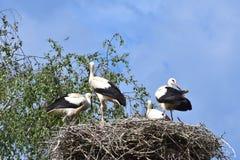 四只幼小鹳在第一班飞行前的巢天 库存图片