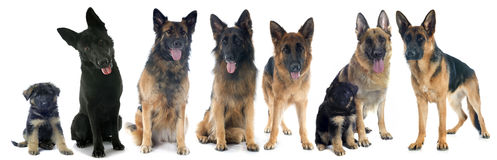 四只德国牧羊犬 免版税库存照片
