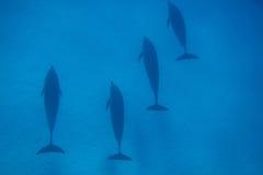 四只海豚在蓝色海 库存照片