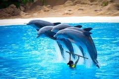 四只海豚跳出水在一个展示期间在动物园里在特内里费岛,西班牙 免版税库存照片
