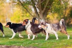 四只湿澳大利亚牧羊犬走的湖边 库存照片