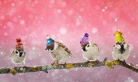 四只滑稽的鸟麻雀坐在冬天圣诞节的一个分支 免版税图库摄影