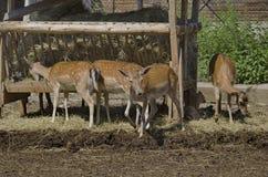 四只獐鹿和一个婴孩关于机架,索非亚 图库摄影