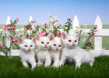 四只白色小猫在花园里 库存照片